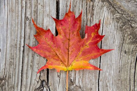 Foto per Red maple leaf on vintage wood - Immagine Royalty Free