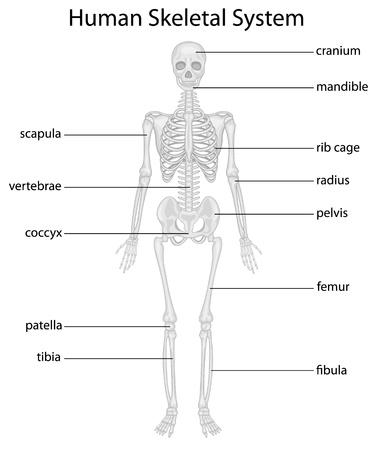 Illustration of skeletal system with labels