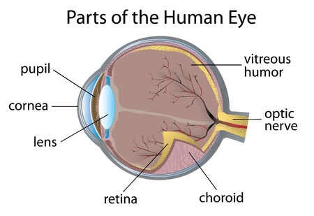 Illustration of parts of the human eye
