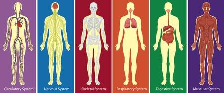 Illustration pour Different systems of human body diagram illustration - image libre de droit