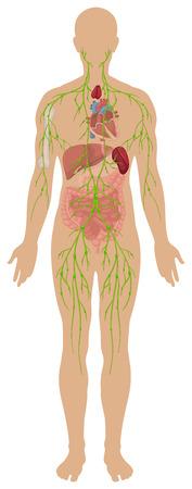 Illustration pour Lymphatic system in human body illustration - image libre de droit