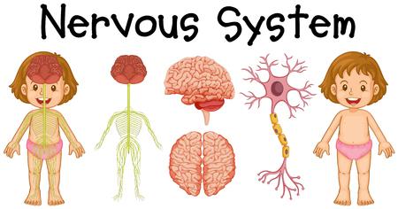 Illustration pour Nervous system of little girl illustration - image libre de droit