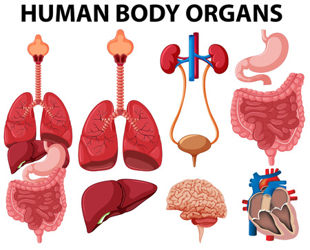 Illustration for Different type of human body organs illustration - Royalty Free Image