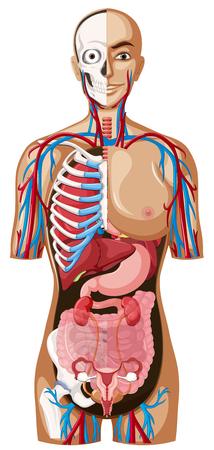 Illustration pour Human anatomy on white background illustration - image libre de droit