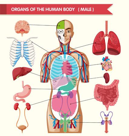 Illustration pour Chart showing organs of human body illustration - image libre de droit