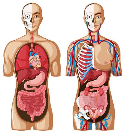 Ilustración de Human anatomy model with different systems illustration - Imagen libre de derechos