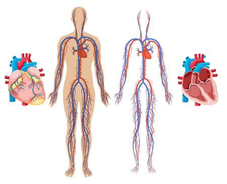 Illustration pour Human Heart and Cardiovascular System illustration - image libre de droit