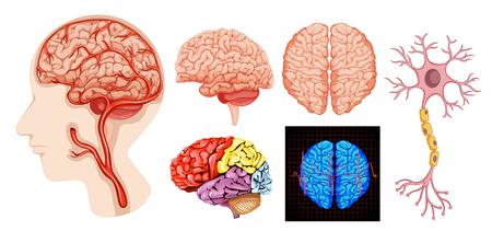 Illustration pour Human brain anatomy technical medical illustration - image libre de droit