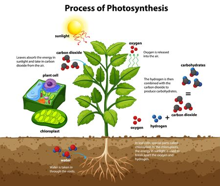 Illustration for Diagram showing process of photosynthesis with plant and cells illustration - Royalty Free Image