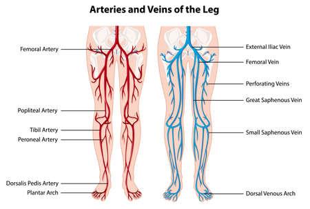 Illustration pour Arteries and veins of the leg illustration - image libre de droit