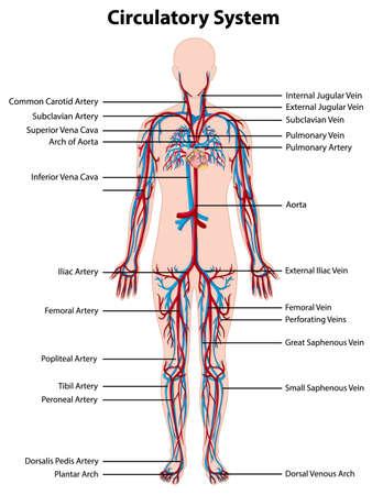 Illustration pour Anatomy of circulatory system illustration - image libre de droit