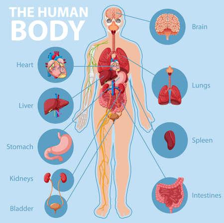 Illustration pour Anatomy of the human body information infographic illustration - image libre de droit