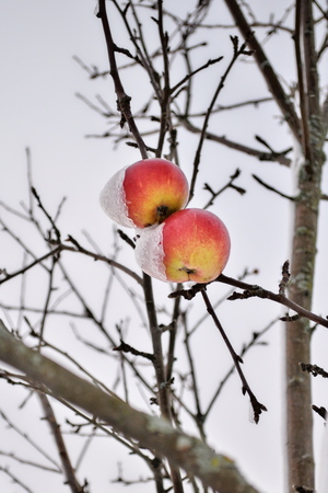 Snowcapped ripe apples covered with thick snow after blizzard are hanging on a branch. Brightly lit apples on a tree under fresh snow caps. Red apples on an apple-tree covered with snow. Rural scene symbolizing transition from autumn to winter.