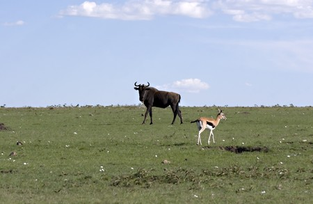 Wildebeest and gazelle in Masai Mara Kenya