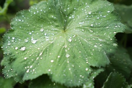 Lady's mantle leaf with rain drops