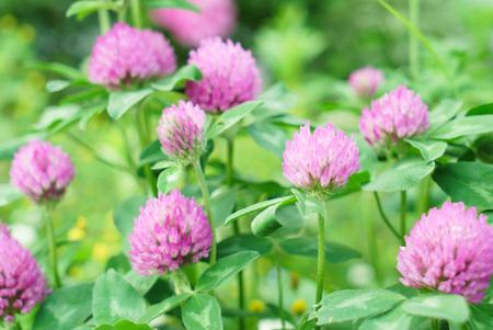 Clover Flowers Field