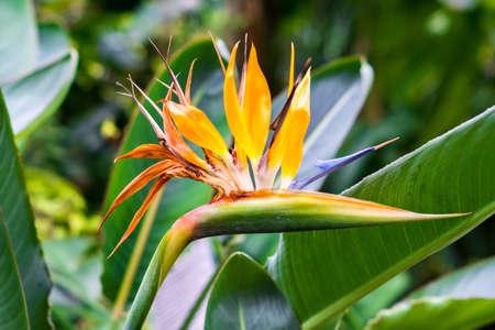 Photo pour blooming Bird of Paradise flower (Strelitzia reginae)  - image libre de droit