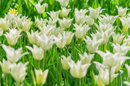 Photo pour fresh colorful blooming white tulips in the spring garden, selective focus - image libre de droit
