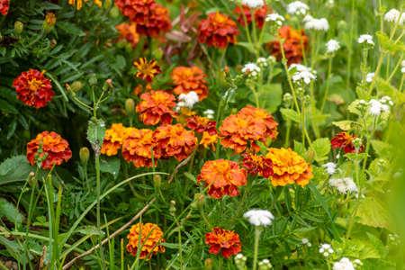 Marigolds (Tagetes erecta, Mexican marigold, Aztec marigold, African marigold)の素材 [FY310154737684]