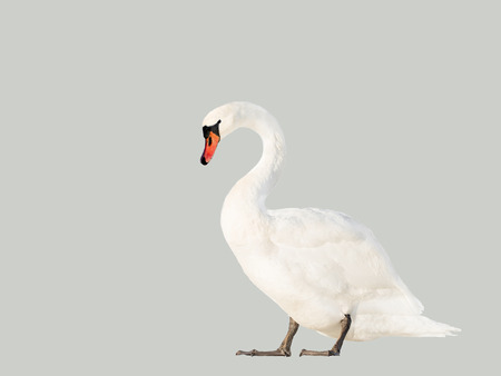 white swan isolated on gray background