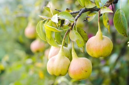 Foto für Tasty young green healthy organic pears hanging on a branch. autumn harvest. healthy fruits - Lizenzfreies Bild