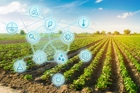 Foto de Farm field pepper. Innovation and modern technology. Quality control, increase crop yields. Monitoring the growth of plants, monitoring of natural conditions. Digitization of agro-industry. - Imagen libre de derechos