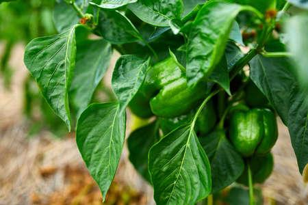 Foto für Green peppers growing in the garden outdoor, agriculture, autumn harvest. - Lizenzfreies Bild