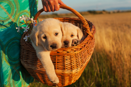Photo pour Two adorable labrador puppy dogs in a basket - woman hands carrying them outdoors, closeup - image libre de droit