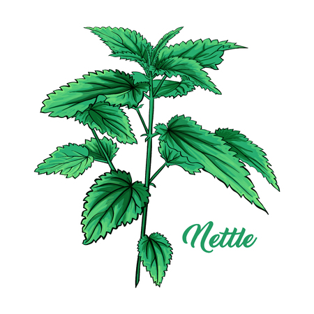 Green Nettle Branch. Tea Herb Theme. Isolated Hand Painted Realistic Marker Drawing Illustration of Stinning Botany Plant. Herbal Medicine and Aromatherapy Design on the White Backgroundのイラスト素材