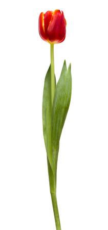 Photo pour Red tulip on a white background - image libre de droit