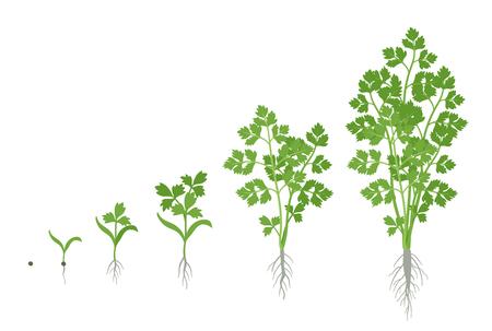 Illustration for Crop stages of Parsley. Growing garden parsley plant. Harvest growth. Petroselinum crispum. Vector flat Illustration. - Royalty Free Image