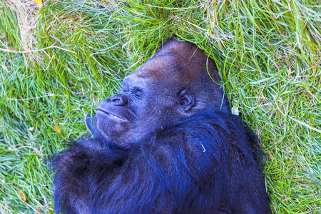 Adolescent low land gorilla