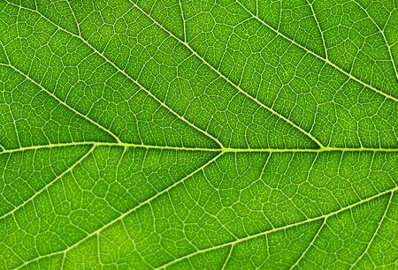 Photo pour close up on fresh green leaf vein - image libre de droit