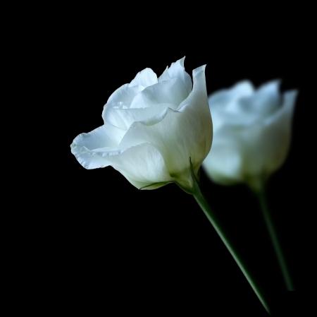 Pair of white roses