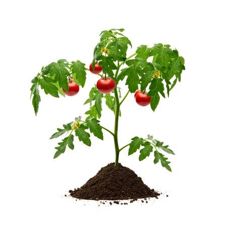 Tomato plant with soil on white background