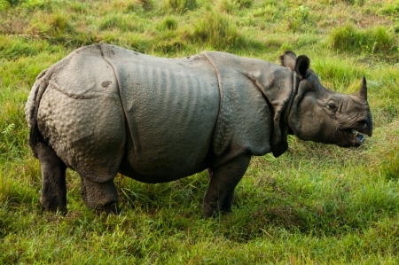 Indian Rhino - Royal Chitwan National Park in Nepal