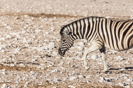 Plains Zebra in Etosha National Park, Namibia, Africa