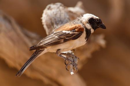 Male Sociable Weaver Bird at Sossusvlei in the Namib Desert, Namibia, Africa