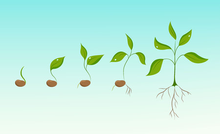 Illustration pour Plant growth evolution from bean seed to sprout to sapling. Phases of greenery germination and cultivation. New life and organic food concept illustration. Isolated elements on sky blue background. - image libre de droit