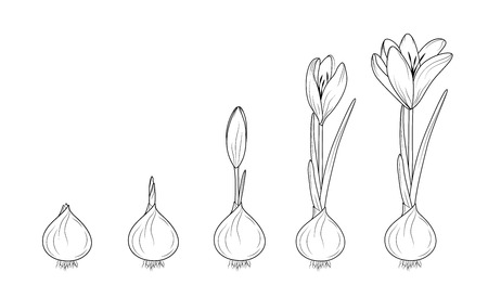 Illustration pour Crocus germination from corm bulb to sprouts to flower. Life cycle phases evolution. Isolated black outline sketch on white background. Flowering plant growth concept vector design illustration. - image libre de droit