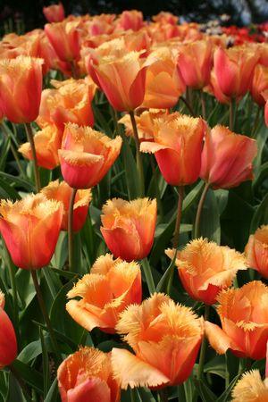 Tulip 'Lambada' (Liliaceae Tulipa 'Lambada')