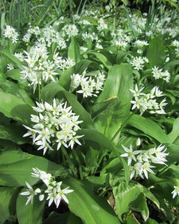 Wild Garlic, Allium ursinum, Ransoms, flowering in the spring in a natural woodland setting