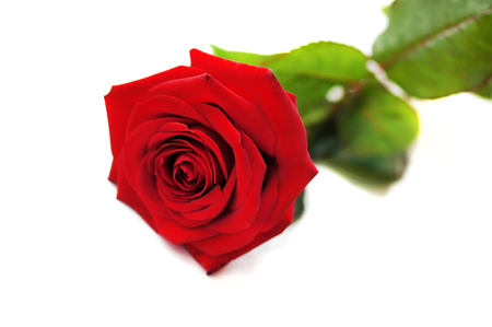 Natural red rose isolated on white background.