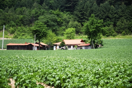 Potato Field in rural landscape in South Korea
