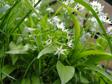 Leafs and bloom of wild garlic are lying on a grey background.