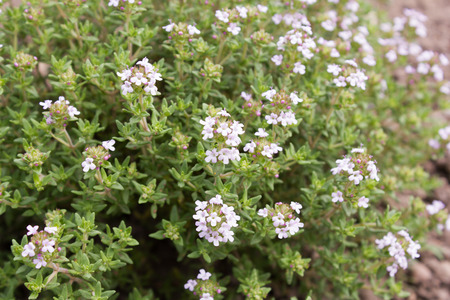 Thyme (Thymus vulgaris) is used as a medicinal and aromatic plant.