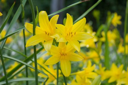 Yellow daylilies (Hemerocallis middendofii) blooming in a garden