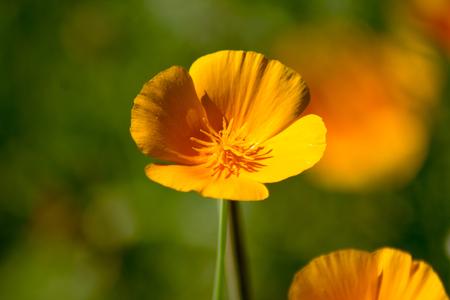 California poppy (Eschscholzia californica) in a botanical garden, close-up