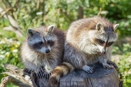 Foto de The raccoon is an omnivore, originally also from North America and is now also a small nuisance in central Germany. - Imagen libre de derechos