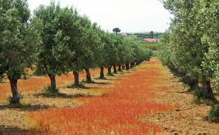 Olives tree in colored field at Portugal